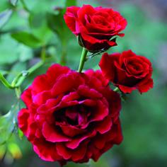 rose test